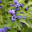 Blue willow gentian — Stock Photo