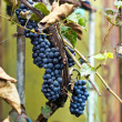 Bunches of red grapes — ストック写真 #26354907