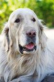 Portrait of golden retriever dog close up — Stock Photo