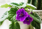 Potted African Violet and cactus — Stock Photo