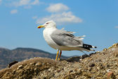 One seagull — Stock Photo