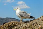 One seagull — 图库照片