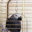 ������, ������: African gray parrot Psittacus erithacus