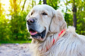 Portrait of golden retriever dog at the park in summer — Stock Photo