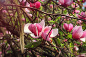 Magnolia tree blossom on spring — Stock Photo