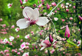 Blossoming of magnolia flower with burgeons — Stock Photo