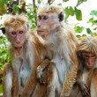 Stock Photo: Monkey family at Sigiriya, Sri Lanka