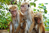Monkey family at Sigiriya, Sri Lanka — Stock Photo