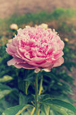 Close up of a pink blooming peony in the garden — Stock Photo