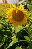 Close-up van zonnebloem — Stockfoto
