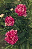 Three dark pink peonies in the garden, vintage toning — Stock Photo