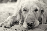 Portrait of golden retriever dog close up — Stock Photo