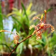 Branch of orange spotted Mokara orchid (Tiger Tail) — Stock Photo #48725897