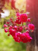 グランド カバーのバラ — ストック写真