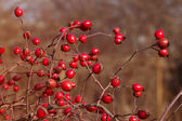 Dogrose in the garden  — Stock Photo