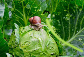 Snail is sitting on cabbage in the garden — Stock Photo