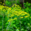 Flowers of green dill — Stock Photo #51305677