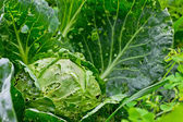 Cabbage in the garden — Stock Photo