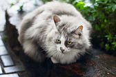 Portrait of fluffy gray cat outdoors — Stock Photo