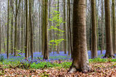 Bluebells in the Halle forest — Stock Photo