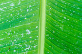Water leaf — Stock Photo