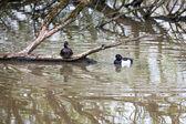 Tufled duck — Stock Photo