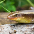Salamander — Stock Photo