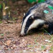 European badger,dassen — Stock Photo