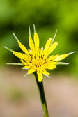 Tragopogon pratensis — Stock Photo
