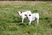Two young cows — Stock Photo