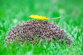 Ouriço na grama — Foto Stock