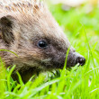 Hedgehog in the grass — Stock Photo