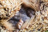 Ouriço no sono — Foto Stock
