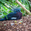 Western Crowned Pigeon — Stock Photo