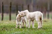 Lamb — Stockfoto