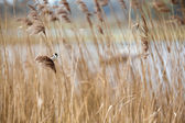 Common Reed Bunting — Stock Photo