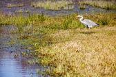 Beautiful grey Heron — Stock Photo
