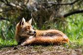 Fox head — Stock Photo