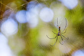Golden silk orb-weaver — Stock Photo