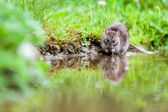 Nature whit rat — Stock Photo