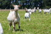 Goats — Stok fotoğraf