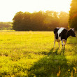 Cow on green grass — Stock Photo #23341616