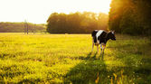 Cow on green grass — ストック写真