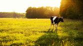 Koe op groen gras — Stockfoto