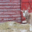 Stock Photo: Barnyard Goat II