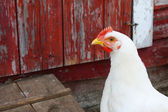 White Hen I — Stock Photo