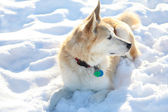 Snow Dog — Stock Photo