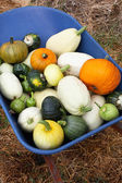 Squash Harvest IV — Stock Photo
