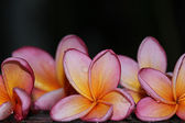 Some pink frangipanis — Stock Photo