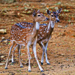 Stock Photo: Two gazelle cubs